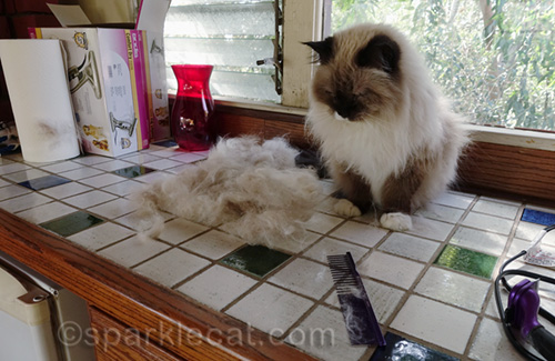 ragdoll cat after brush-out
