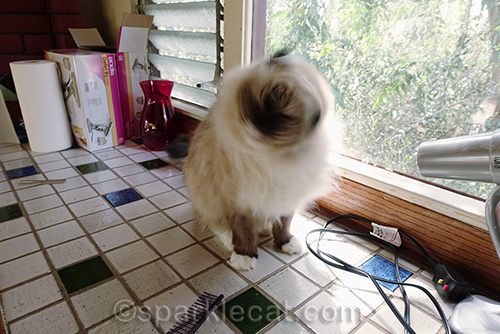 ragdoll cat shaking head