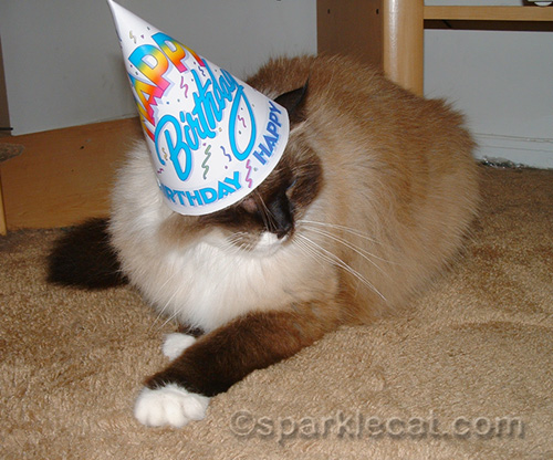 ragdoll mix cat with birthday hat on head
