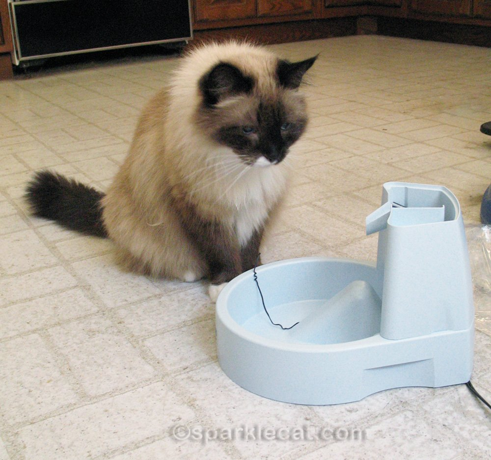 ragdoll mix cat staring at partly assembled drinking fountain