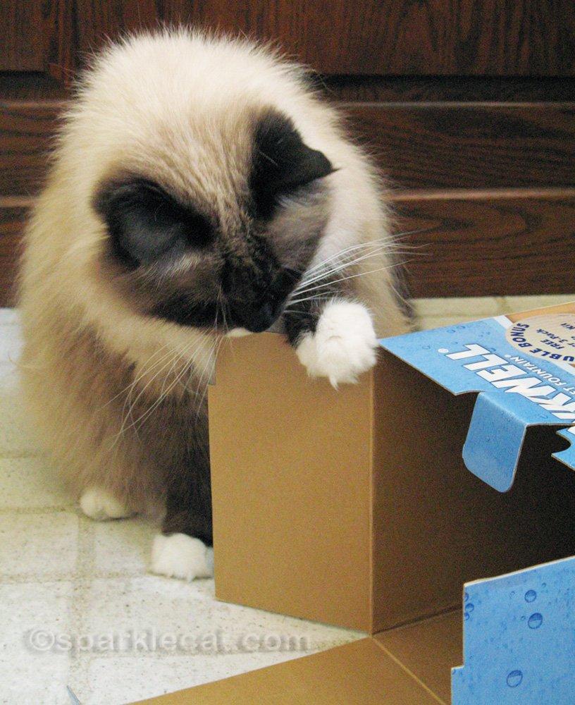 Ragdoll mix cat looking inside box