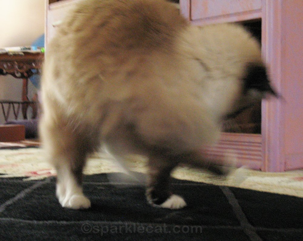 Ragdoll mix cat playing with cat toy