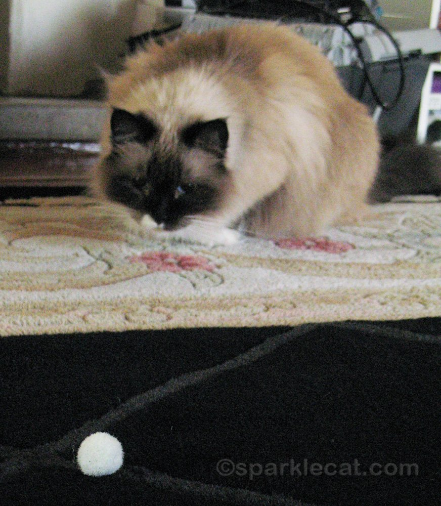 Ragdoll cat getting ready to pounce on fluffy ball cat toy