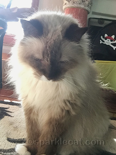 ragdoll cat getting ready to take selfie