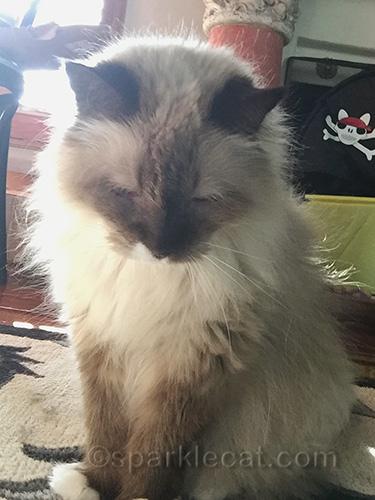 ragdoll cat getting ready to take selfie