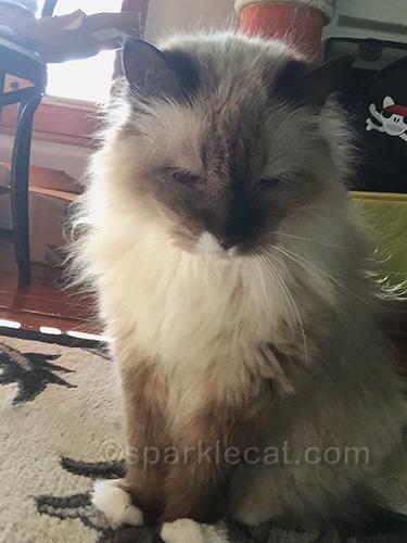 surprise guest selfie from ragdoll mix cat