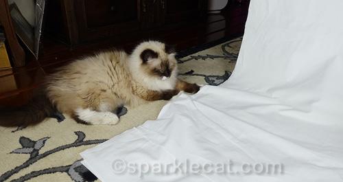 amused ragdoll cat sitting next to photo set