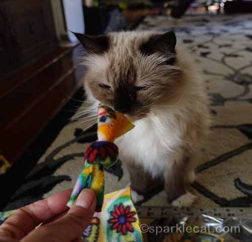 ragdoll cat checking out nip knot