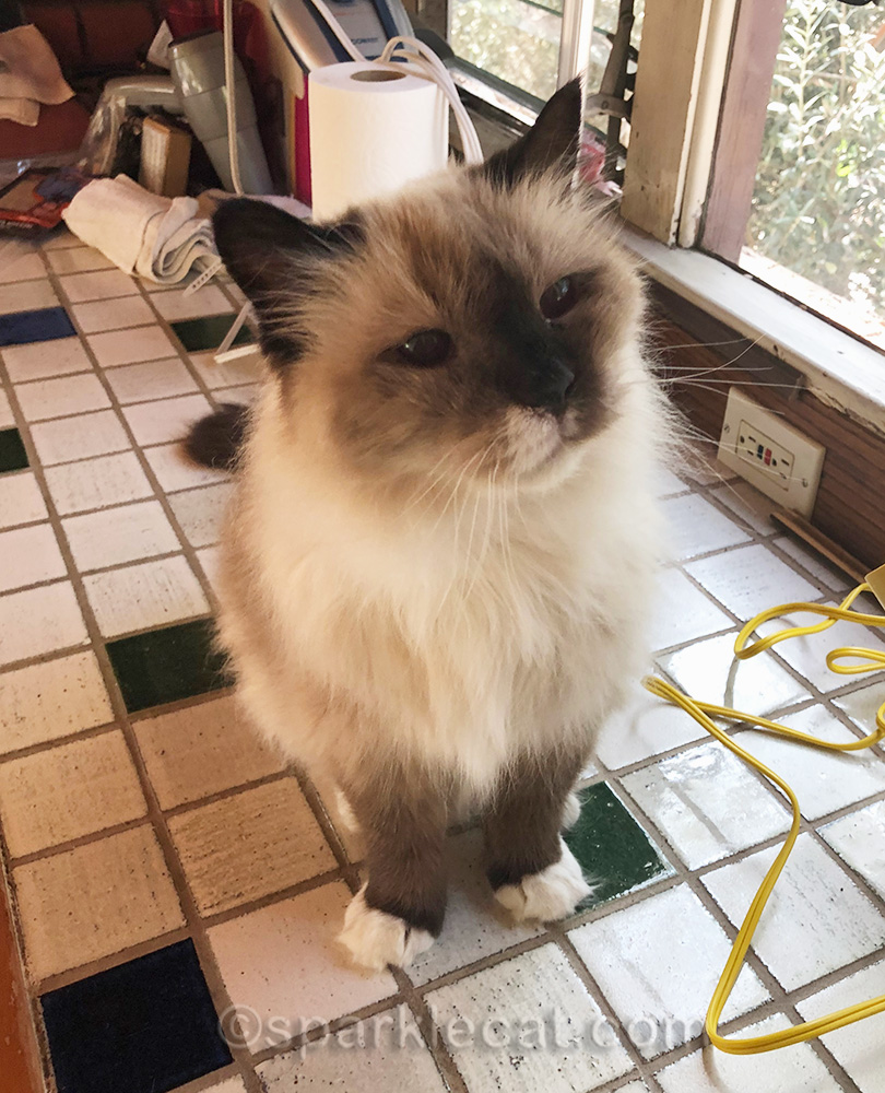 ragdoll cat after being combed