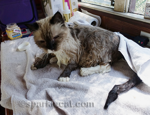 ragdoll cat after being bathed