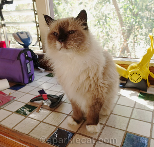 ragdoll mix cat waiting to be groomed