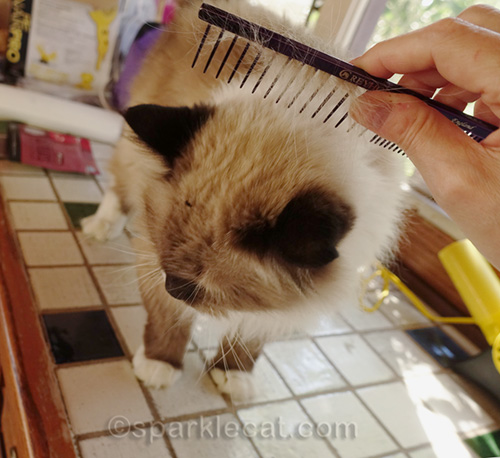 ragdoll cat getting a comb out