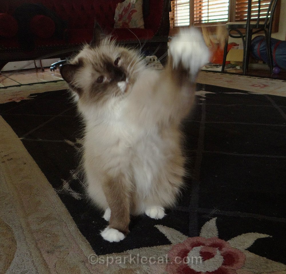ragdoll mix cat playing