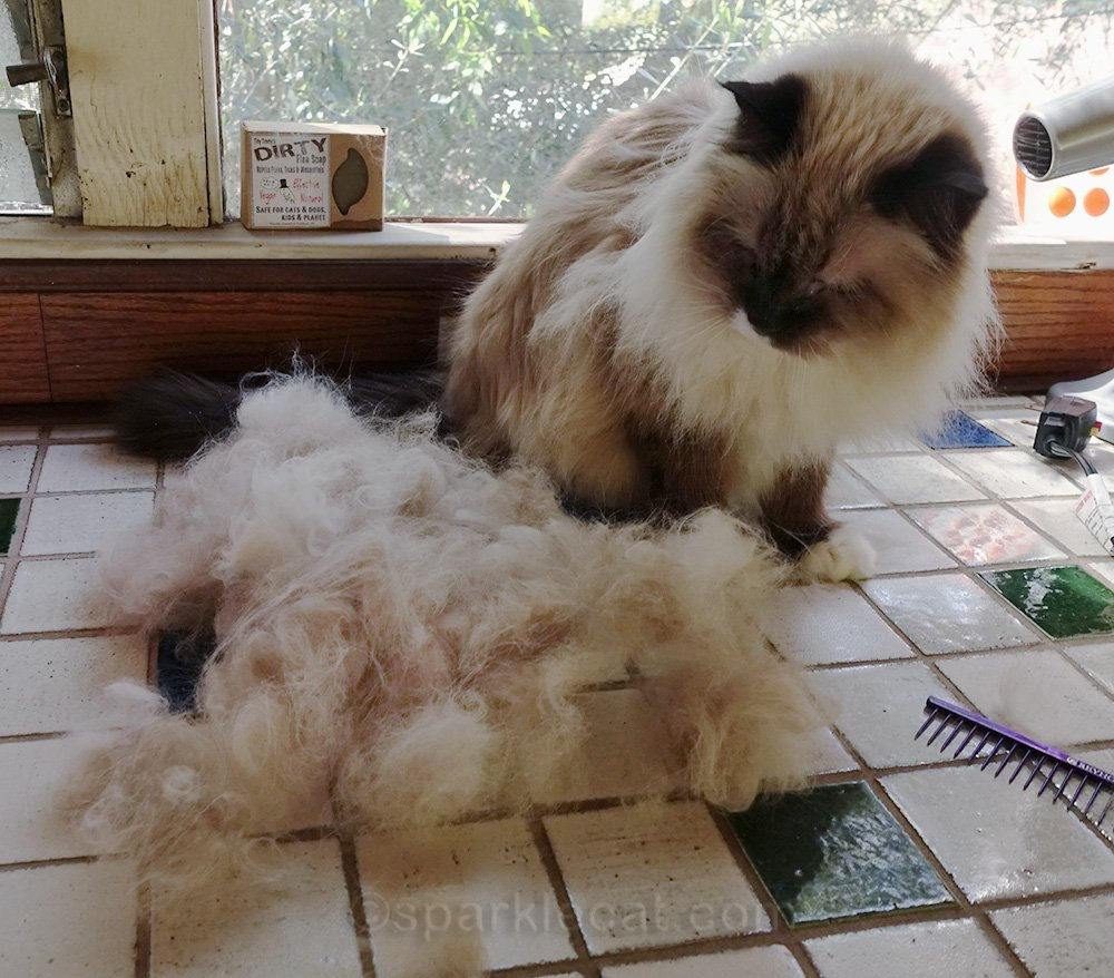 ragdoll cat amazed at all her leftover fur after grooming