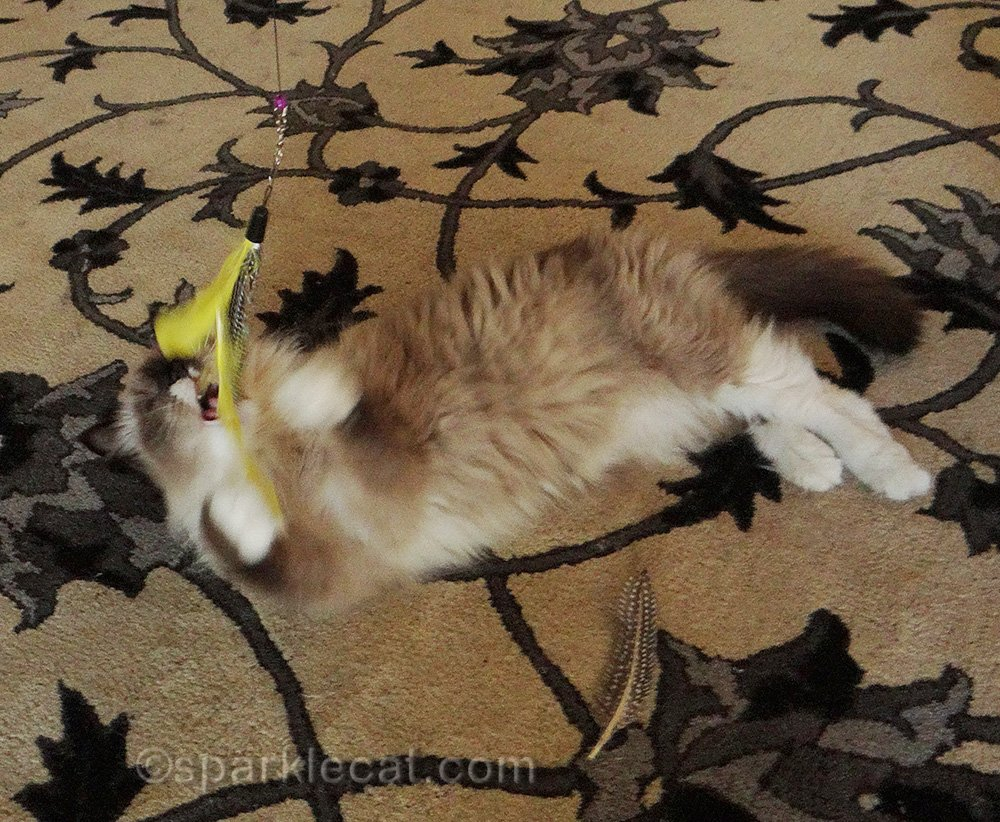 ragdoll cat playing with feather toy