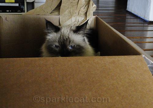 ragdoll cat sitting in box