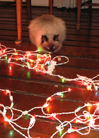 My human had to remind Boodie the lights were not edible