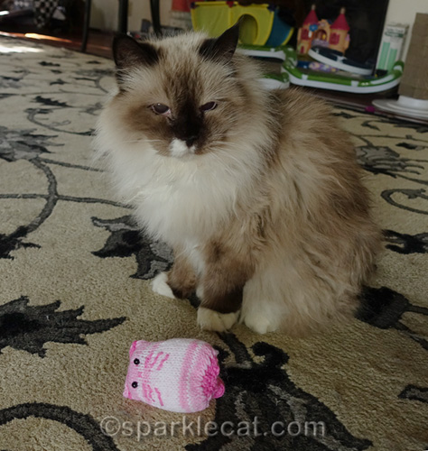 ragdoll cat with cat toy