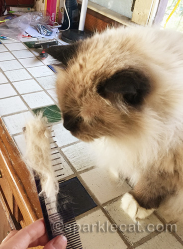 ragdoll cat looking at fur on comb