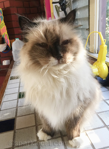 ragdoll cat halfway through her comb out