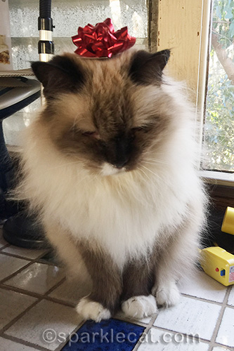 ragdoll cat with bow on her head