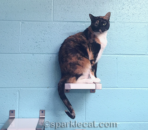 calico cat at Kitten Rescue