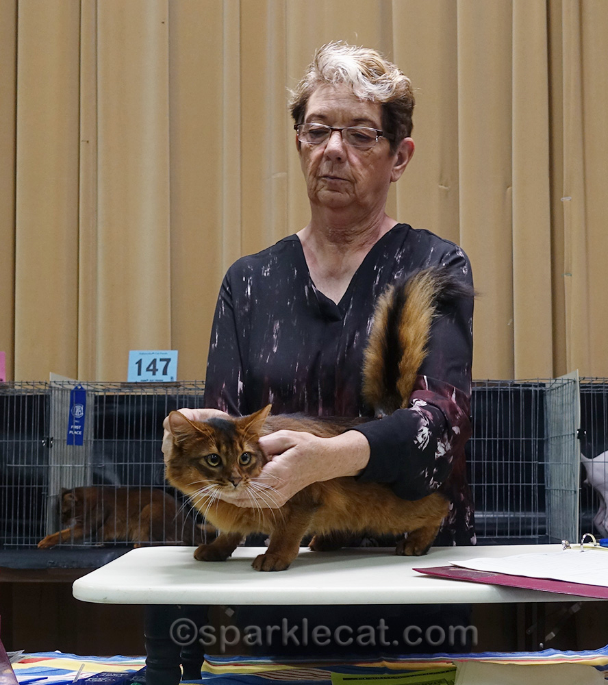 somali female cat being judged