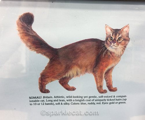detail of somali cat from breeds board