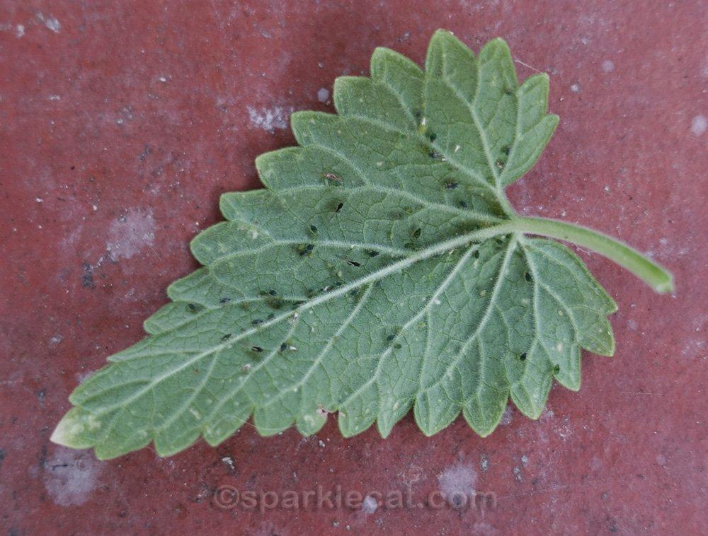 Close up of bug infested catnip leaf