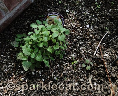 It almost looks like a real catnip plant!