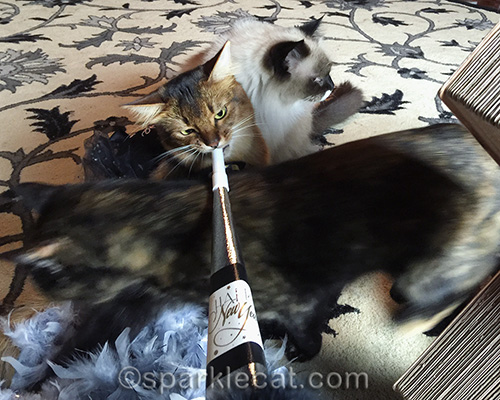 somali cat, ragdoll cat, tortoiseshell cat, New Year's Eve, party horn, photo bomb