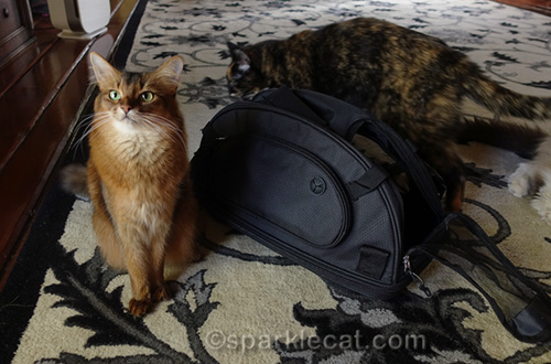 tortoiseshell cat sneaking up on somali cat