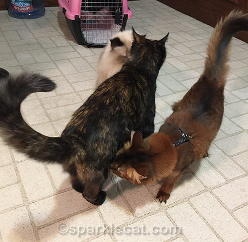 cats in kitchen sniffing each other