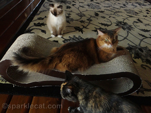 somali cat surrounded by other cats