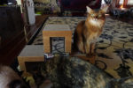somali cat being photo bombed by ragdoll cat and tortoiseshell cat