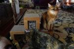somali cat being photo bombed by ragdoll cat and tortoiseshell cat