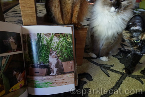 tortoiseshell cat and ragdoll cat photobombing book pages