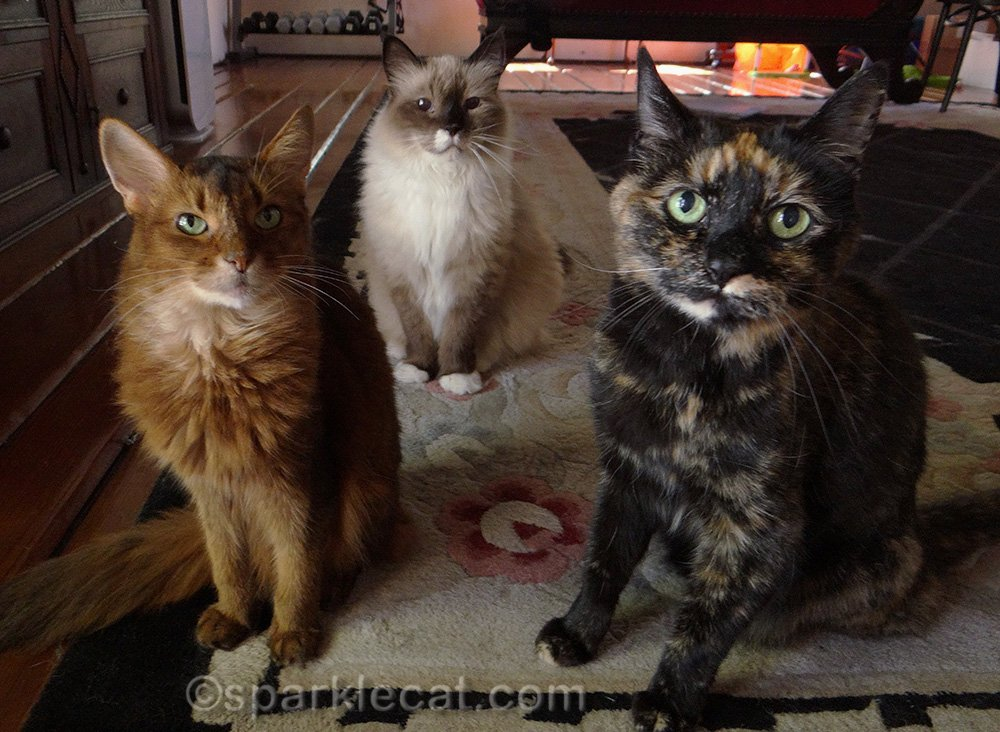 somali cat, ragdoll cat, and tortoiseshell cat