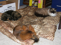 Why have a bed for one dog when you can sleep three cats?