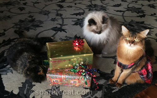 somali cat in dress and ragdoll cat with christmas presents