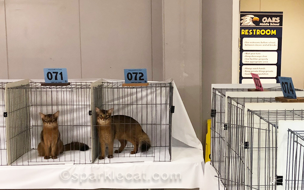 two somali kittens in judging ring