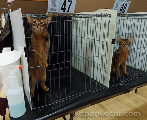 trouble making somali kittens in judging ring