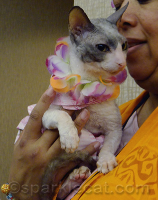 Another cool Cornish Rex