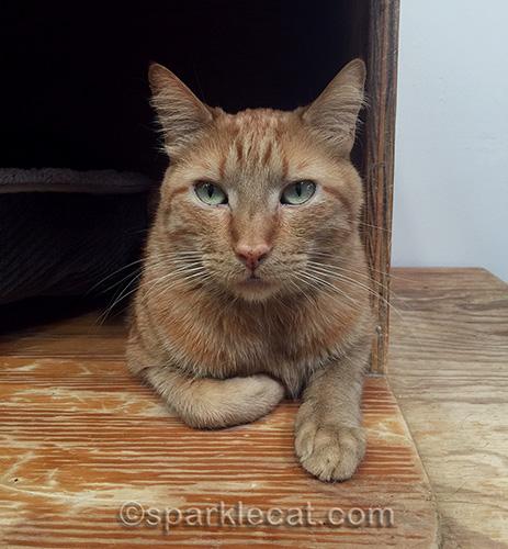 orange tabby cat Dakota at Kitten Rescue