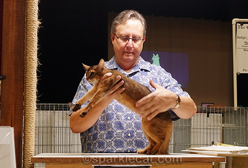 Judge checking out young somali kitten