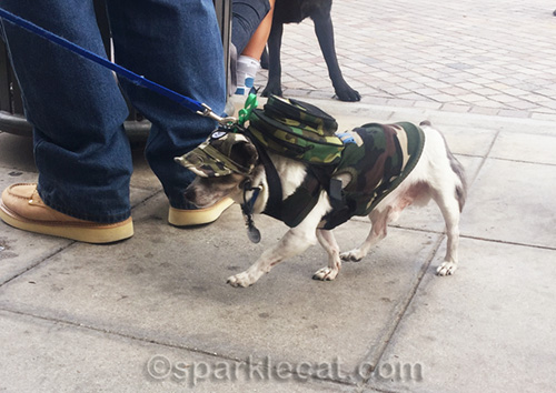 little dog in camouflage gear and backpack