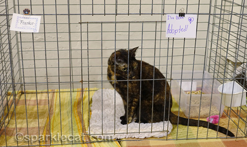 tortoiseshell cat gets adopted