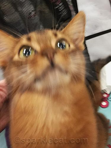 somali kitten failing at selfie-taking