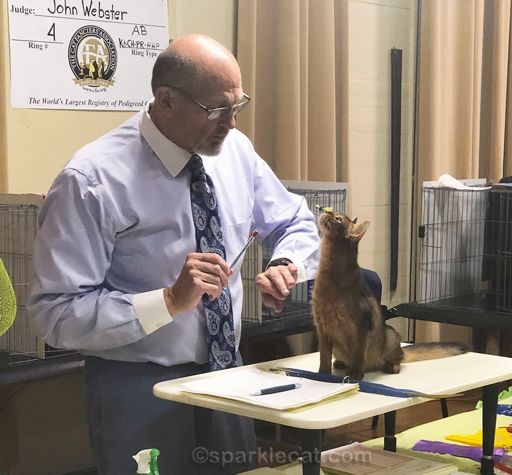 Cat show judge with somali kitten