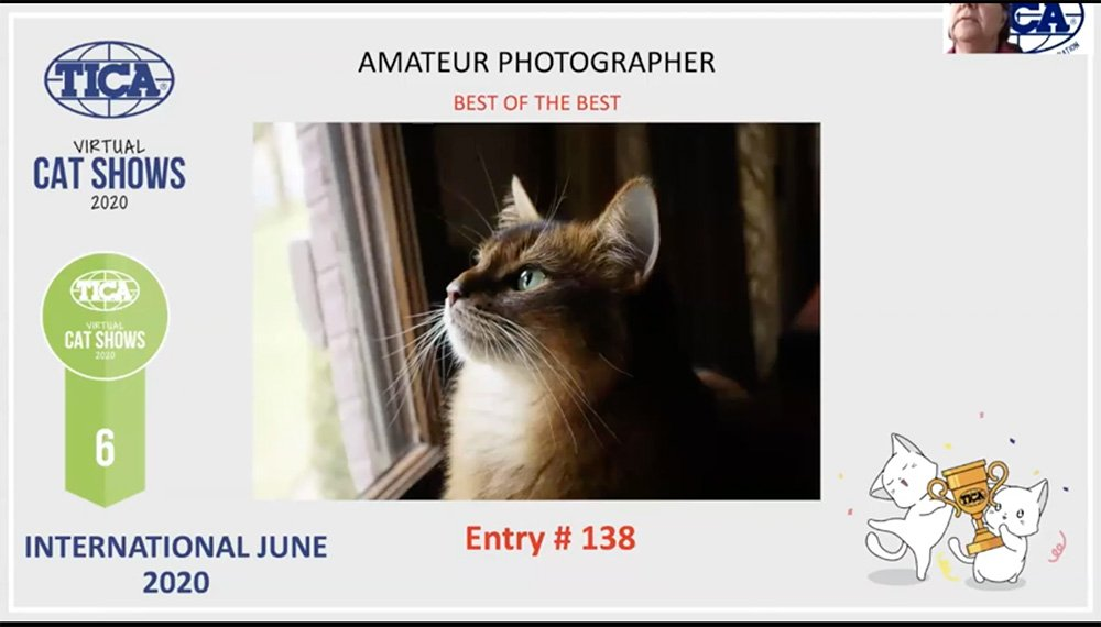 Somali cat photo 6th best of the best at TICA Virtual International Show